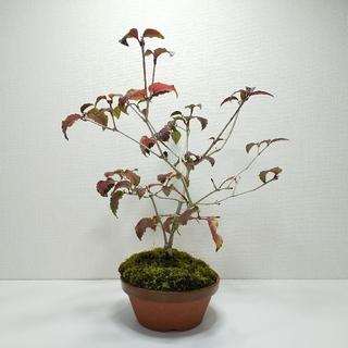 オトコヨウゾメ S004(その他)