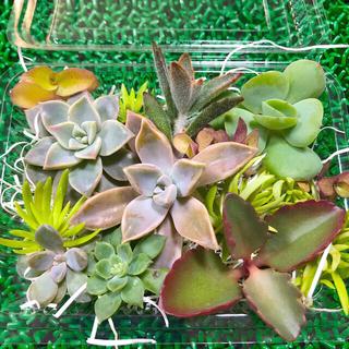 多肉植物☆色々カット苗セット&おまけセダム(その他)
