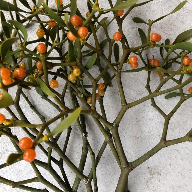 ヤドリギ  宿り木オレンジ希少コンパクトボックス ハンドメイドのフラワー/ガーデン(ドライフラワー)の商品写真