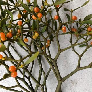 ヤドリギ  宿り木オレンジ希少コンパクトボックス(ドライフラワー)