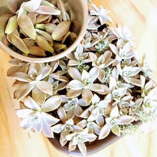 ■多肉植物■ 初心者ミックス詰め合わせset カット苗セット(おうち時間)(その他)
