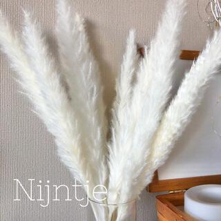 パンパスグラス10本 ホワイト ドライフラワー クリスマス 北欧(ドライフラワー)