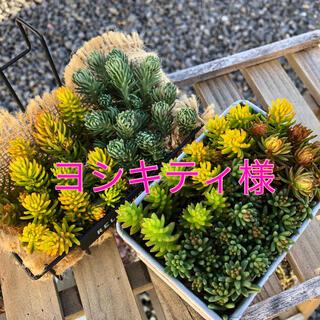 セダム【カット】多肉植物(その他)