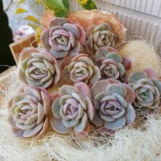 カット苗❣ブルーSurprise❣多肉植物(その他)