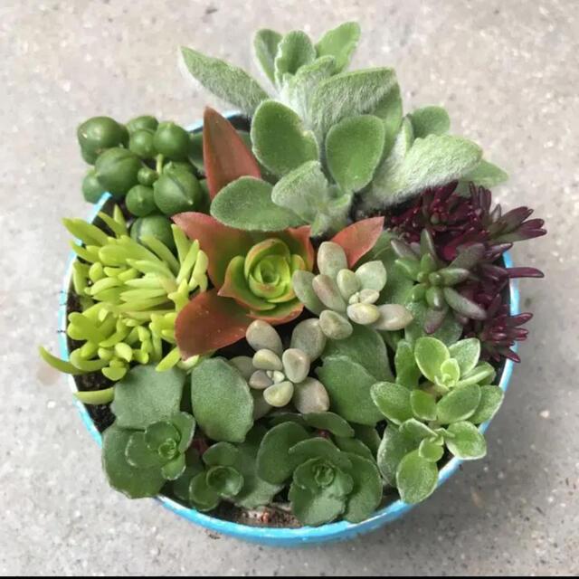 多肉植物 カット苗 ハンドメイドのフラワー/ガーデン(その他)の商品写真