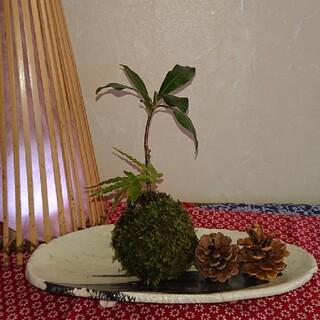 沈丁花とシダの苔玉