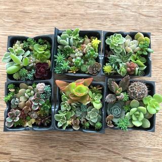 【多肉植物】6個入り容器、土付きの配送