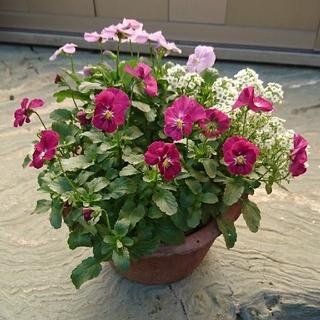 春の小さなお花の寄せ植え 紫・赤紫色(その他)