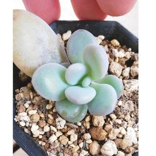 ★ピンクシフォン・国産★多肉植物★(その他)