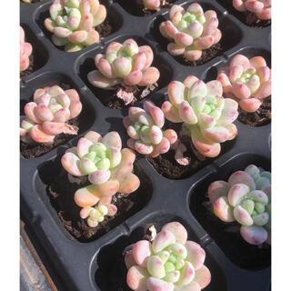 ピンクラウル 多肉植物(その他)