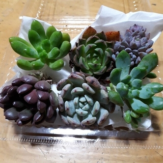 多肉植物 韓国苗セット②(その他)