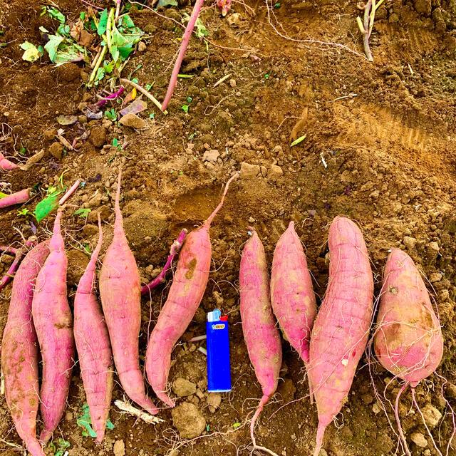 千葉県産 サツマイモ(紅はるか) 2S 15kg 土つき セール品 食品/飲料/酒の食品(野菜)の商品写真
