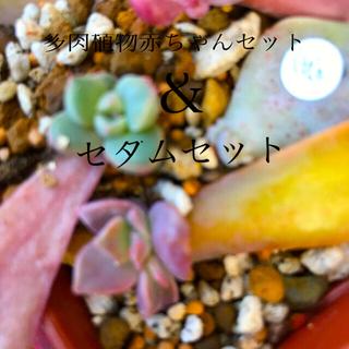 多肉植物赤ちゃん&セダムカットセット(その他)