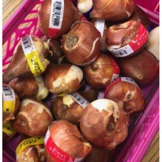 【特価】大きなチューリップ 30球 赤桃黄 各10球