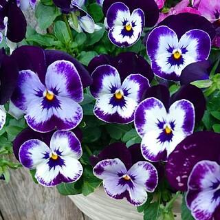 ビオラ 種 花 ミッキー 寄せ植え ガーデニング フラワーガーデン 園芸(その他)