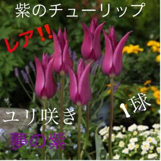 レア!!ユリ咲き チューリップ 紫 球根 1球(その他)