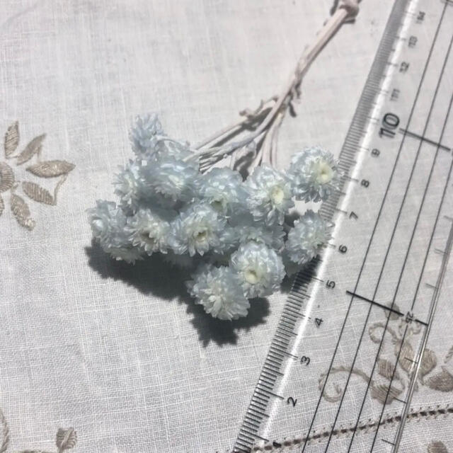 イモーテル / ベビーブルー / ドライフラワー 花材 ハンドメイドのフラワー/ガーデン(ドライフラワー)の商品写真