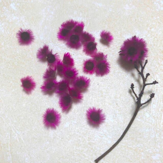 ドライフラワー スターリンジャー 25個 ヘッドバラのみ 濃いピンク ふわふわ  ハンドメイドのフラワー/ガーデン(ドライフラワー)の商品写真