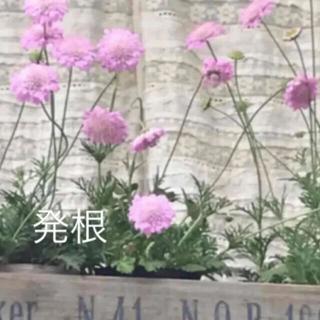 B(ᵔᴥᵔ)❤︎スカビオサ ピンク♡挿し穂苗♡可愛いお庭♡ベランダガーデン♡(その他)