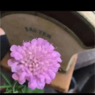 C(ᵔᴥᵔ)❤︎スカビオサ ピンク♡挿し穂苗♡可愛いお庭♡ベランダガーデン♡(その他)