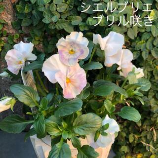 パンジー 一苗 シエルブリエ(フリル咲き) ホワイトにピンクやパープルも模様(その他)