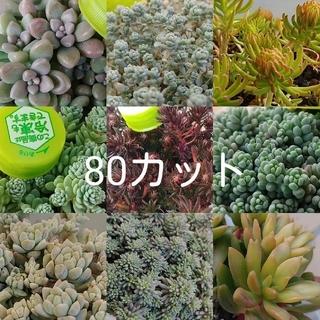 多肉植物セダム類(その他)