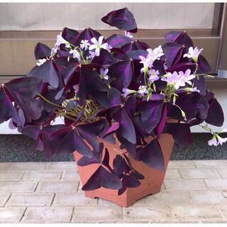 紫の舞(その他)