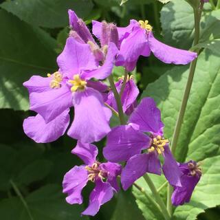 紫花菜(その他)