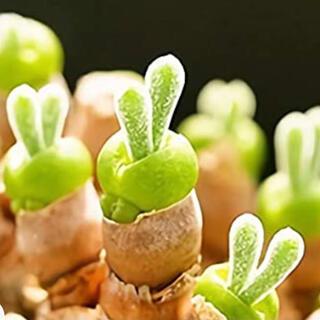 ウサ耳モニラニア種子20粒