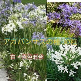 アガパンサス 白紫混合 30粒(その他)