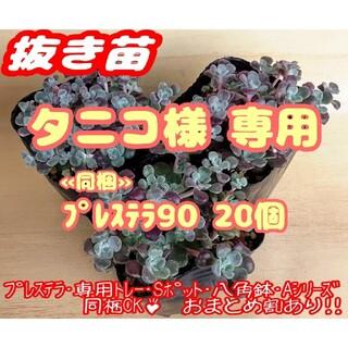 抜き苗【レア!!】パープレウム 多肉植物 セダム プレステラ プラ鉢(その他)