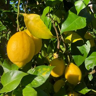 無農薬レモン 1キロ詰め合わせ(フルーツ)