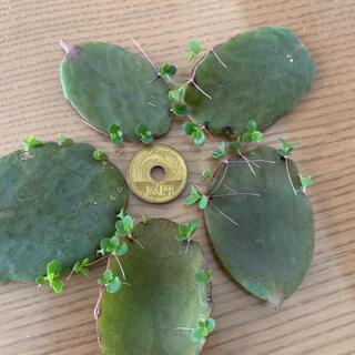 多肉植物 葉挿し 胡蝶の舞 写真と同じくらいの量送ります グリーン(その他)