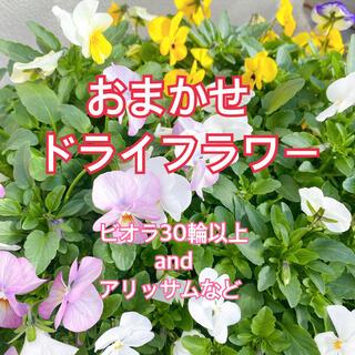ドライフラワー ビオラ + 季節のお花 おまかせ(ドライフラワー)