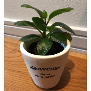観葉植物 ペペロミア 抜き苗 幸運 風水
