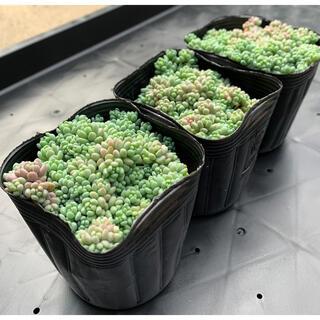 多肉植物 パープルヘイズ 3ポットセット(その他)