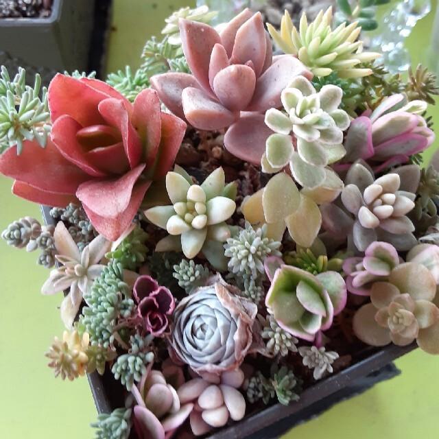 多肉植物☆カット苗21種☆3種のオマケつき ハンドメイドのフラワー/ガーデン(プランター)の商品写真