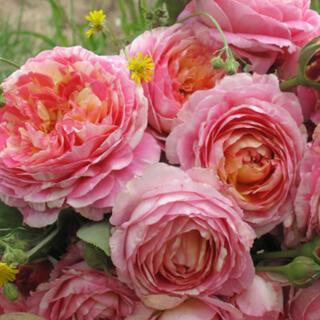 強香❣️華やかな絞り薔薇(その他)
