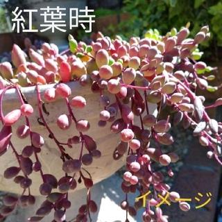 多肉植物 ルビーネックレス カット