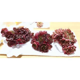 韓国多肉植物 群生3種セット