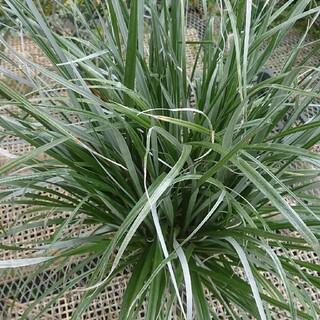 アステリア 8寸サイズ 植物 シルバーリーフ 1.0メートル(その他)