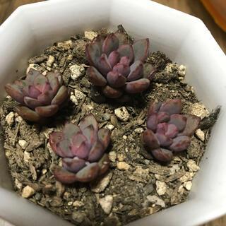 パープルドリーム 多肉植物(その他)