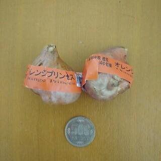 オレンジプリンセス チューリップ球根2個(その他)