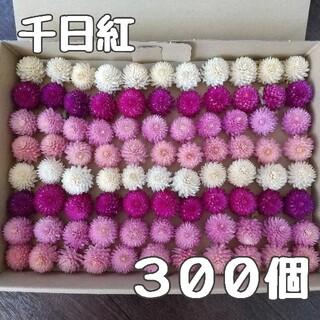 【千日紅】ヘッド300個 ドライフラワー(ドライフラワー)
