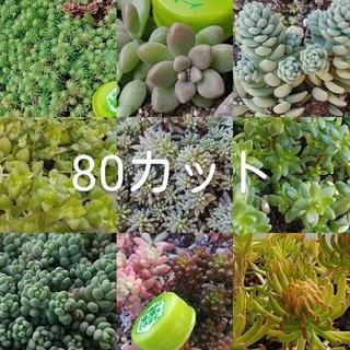 多肉植物セダム類80カット(その他)
