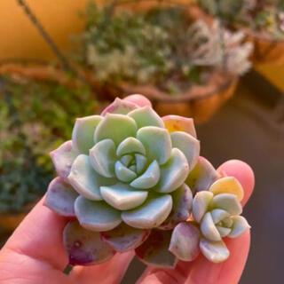 ピンクドラゴン 多肉植物 韓国苗