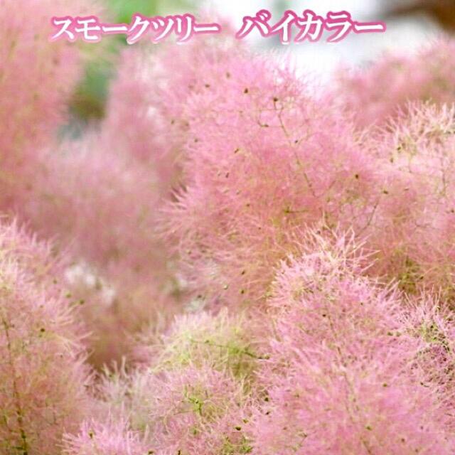 スモークツリー 苗 希少品種 バイカラー 苗木 ハンドメイドのフラワー/ガーデン(ドライフラワー)の商品写真