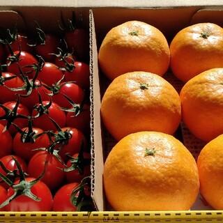 ミニトマト みかん ミカン(野菜)