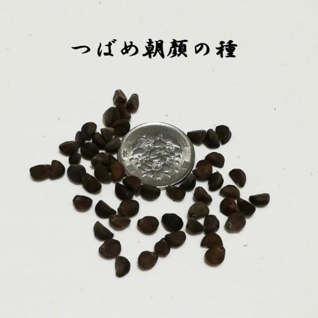春まき花の種  アサガオの種「つばめ朝顔」30粒 ハンドメイドのフラワー/ガーデン(その他)の商品写真