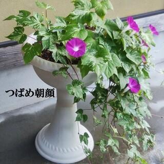 春まき花の種  アサガオの種「つばめ朝顔」30粒(その他)